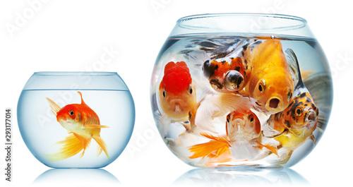 Valokuvatapetti gold fish and piranha