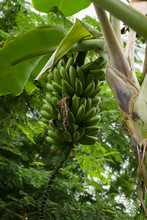 Wild Banana Latin Name Musa Acuminata Showing A Crop Of Ripening Fruit. It Is The Worlds Largest Herbaceous Flowering Plant Originating From South East Asia