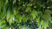 Green Leaves Of Mulberry Trees In The Summer. Natural Canopy From The Sun. Arbor From The Trees. The Formation Of The Tops Of Trees In The Form Of A Canopy. Natural Background Of Fresh Mulberry Leaves
