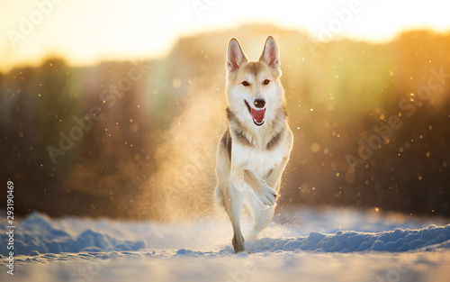 Leinwand Poster  Portrait of a happy mongrel dog walking at meadow in winter in sunset