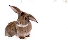 Gray Rabbit On White Snow