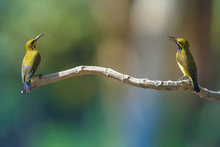 Two Sunbirds On A Branch, Indonesia