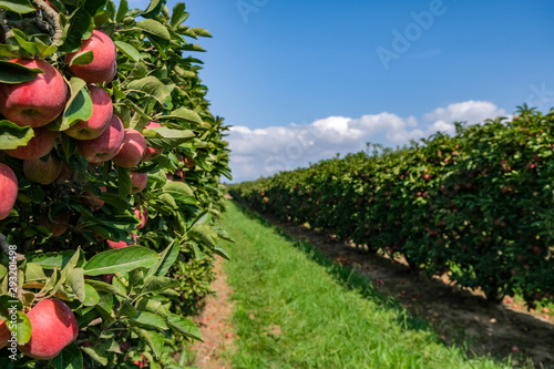 Cuadros en Lienzo Apple trees with ripe fruits in the garden in Spain on the blue sky background