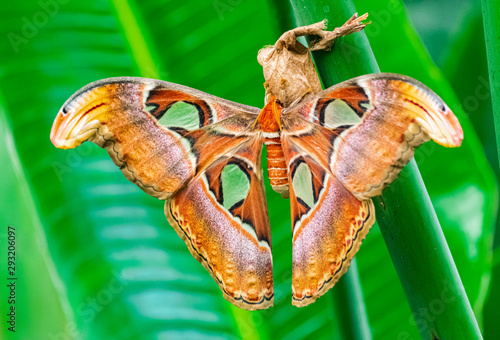 Altas moth, (Attacus atlas), emerge from cocoon, on a green leaf, with green veg Fototapeta