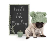 Cute Grumpy Pug Puppy Dog With...
