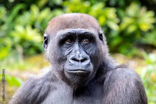 Tuinposter Aap A young gorilla portrait in natural habitat