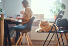Adorable Persian Cat Is Chilling On The Chair While His Mistress Is Working At The Desc.
