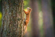 Curious Red Squirrel In The Autumn Park