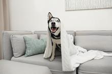 Cute Siberian Husky Dog On Sofa At Home