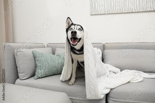 Cute Siberian Husky dog on sofa at home Canvas Print