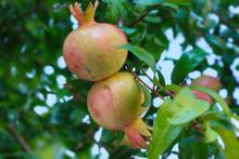 Pomegranate Fruit Ripening