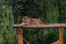 Jaguar Resting In The Grass, Nature, Wild Animals.