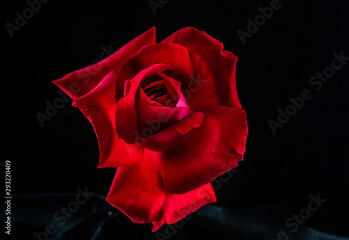 Photo Red Rose on Black Background