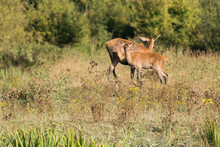 Mother And Son Deer