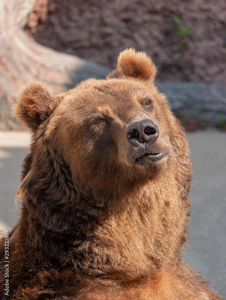 Brown bear (Ursus arctos) portrait on the hunt