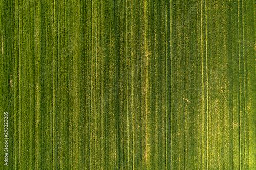 Obraz Aerial view of green wheatgrass field from drone pov - fototapety do salonu