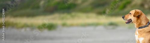 Fototapeta  Cane attento su sfondo omogeneo per scritte, per pubblicità, messaggi, comunicaz