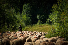 Sheepherder And Sheep Through Autumn Temperate Deciduous Forest Landscape