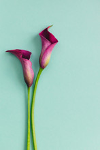 Two Beautiful Violet Calla Lilies On Turquoise Background. Flat Lay.