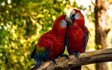 Couple Of Macaws At Zoo