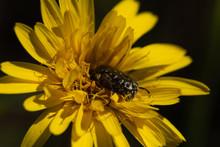 Closeup Of A Beetle Crawling Inside A Yellow Flower, Closeup