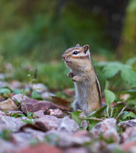 Beautiful Chipmunk Living In T...