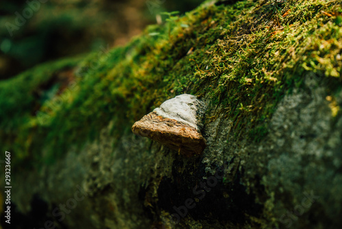 Valokuvatapetti White polypore mushroom growing on a tree stump