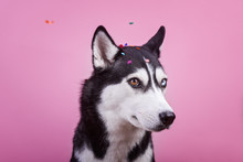 Cute Bi-eyed Husky Dog Watches...