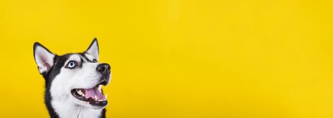 Smiling bi-eyed husky dog wait dog treats on the yellow background. Smiling d...