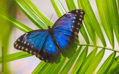Obraz na plátne Blue Morpho, Morpho Peleides, Morfa Peleida, Big Butterfly Sitting on Green Leav