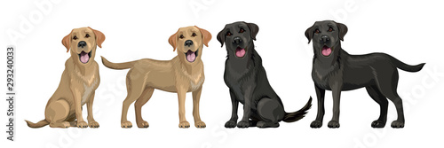 Photographie  Gold yellow labrador retriever and black labrador retriever