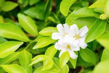 Thai Orange Jasmine, White Orange Jasmine Flower With Green Leaves Blooming On Tree In The Garden. White Flower Of Orange Jasmine, Andaman Satinwood, Cosmetic Bark Tree.