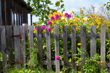 Yellow Heliopsis And Pink Phlox Flowers Near An Old Wooden Village Fence Near A Summer House On An August Day.