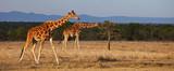 Jirafa reticulada, Reserva Ol Pajeta Kenia, Africa