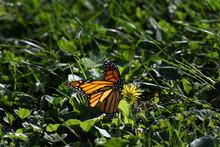 Beautiful Monarch Butterfly On...