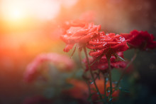 Beautiful Of Red Roses And Dew With Sunlight In The Morning,Left Copy Space For Text.