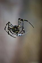 Argiope Spider On A Web Macro Aurantia