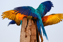 Two Blue-and-yellow Macaw Spre...