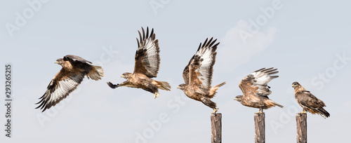 Photo  upland buzzard takeoff