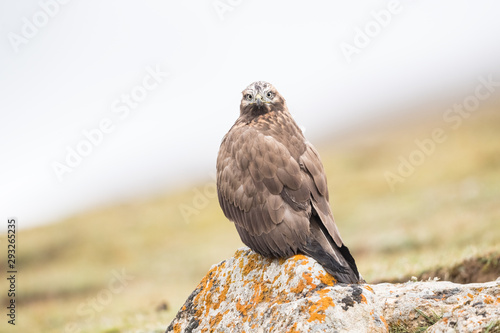 upland buzzard closeup Wallpaper Mural