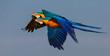 Leinwandbild Motiv Two beautiful Blue-and-yellow macaw close together in flight to the left, against blue sky, San Jose do Rio Claro, Mato Grosso, Brazil