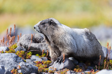 A Hoary Marmot In A Meadow In Mount Rainier National Park