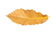 Chestnut Leaf Dry Isolated Aut...