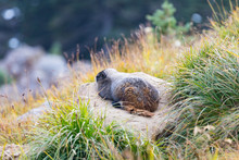 A Marmot Resting On A Rock Sur...