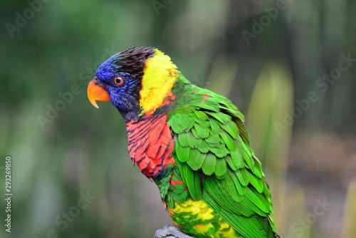 yellow green Rainbow lorikeet parrot bird