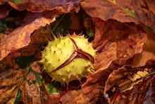 Autumn Conkers