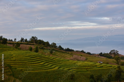 Aluminium Prints Rice fields Rice fields in the mountains in Thailand