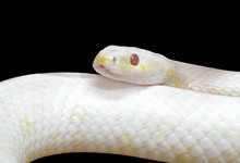 Close Up Albino Black Rat Snake Coiled Isolated On Black Background With Clipping Path