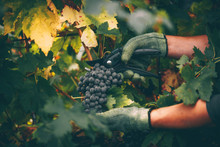 Grapes In Hand, Harvest In Autumn.