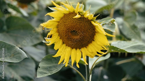 Fotomurales - Field of sunflowers in the wind on a bright cloudy summer day with sky on farm. Scenic landscape agricultural land. Beauty nature, agriculture.